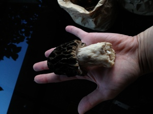 The morels were gigantic and fresh. Photo by Christine Willmsen