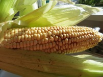 Pull back husks of corn and remove any hairs, then season with salt, cumin and chili powder. Photo by Christine Willmsen