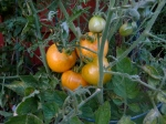 Even though this tomato is yellow, it's ripe. Base your ripeness on feel and when tender pull it. Photo by Christine Willmsen